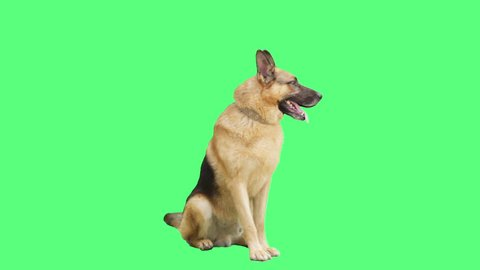 German Shepherd dog sitting and looking at a green screen