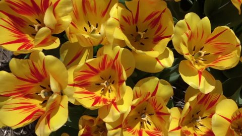 CLOSE UP, SLOW MOTION: Birds eye view of wide opened yellow tulips with red stripes blossoming and swinging in summer wind. Beautiful tulip flowers blooming and dancing in soft breeze on sunny day