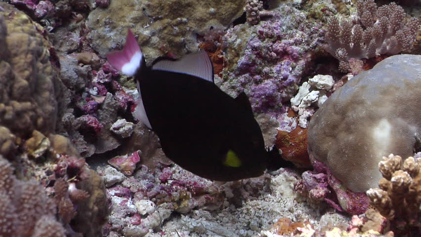 Pinktail triggerfish tending eggs on shallow coral reef, Melichthys vidua HD, UP27898