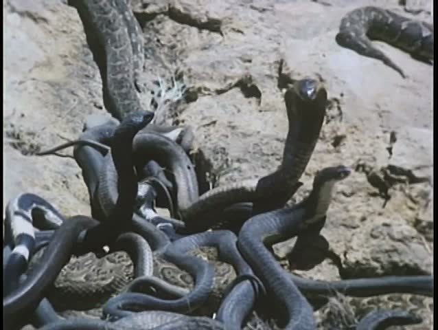 Close-up of snakes fighting