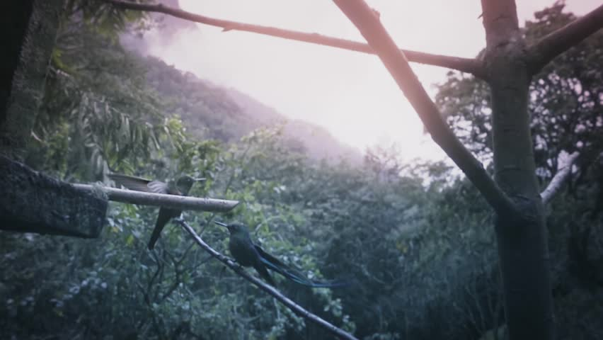 Emerald-chinned hummingbirds flying away from the feeder on the Colombian rain forest. Slow motion