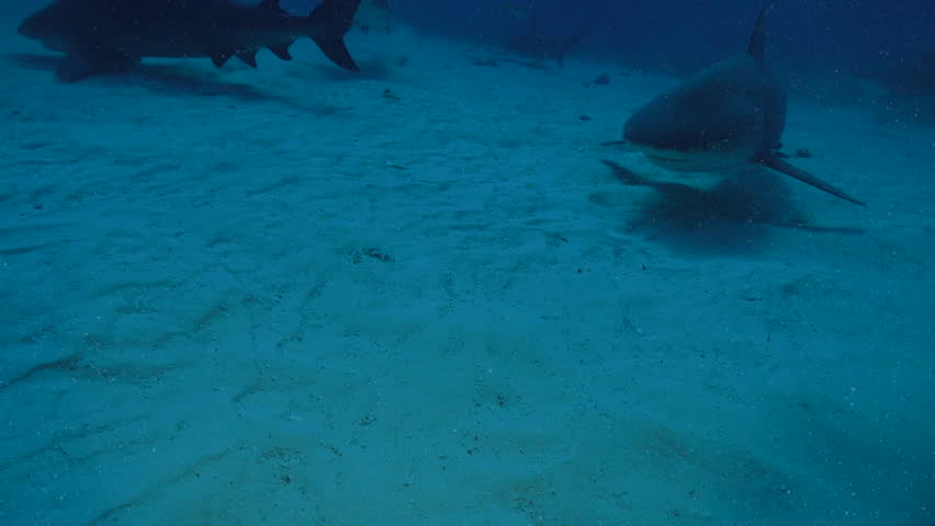 Bull Shark Surprise. A Bull Shark sneaks up from above in the Bahamas. This footage was taken off the coast of Bimini. The Bull Shark, Carcharhinus leucas, is also known as the Zambezi Shark.