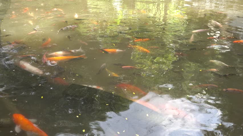 Many fish koi carp in a pond close up big beautiful for Ornamental pond fish golden