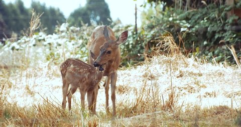 Mother Deer & Fawn Grazing & Pruning Each Other in Grassy Meadow