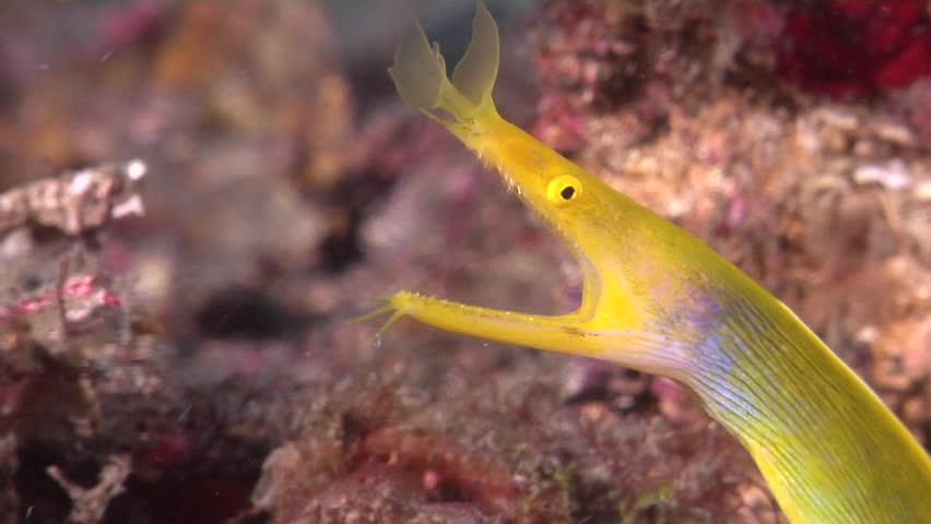 Female adult Blue ribbon eel breathing on muck, Rhinomuraena quaesita HD, UP23524
