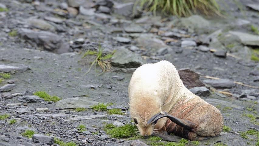 Rare leucistic Antarctic fur seal pup at Cooper Bay on South Georgia. (Cooper Bay, South Georgia, South Sandwich Islands 2010s)