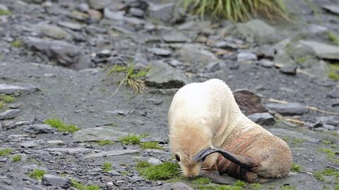 Rare leucistic Antarctic fur seal pup at Cooper Bay on South Georgia. (Cooper Bay, South Georgia, South Sandwich Islands 2010s)