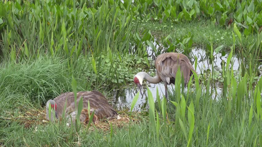 Male Sandhill Crane Rebuilds Nest While Mother Lays With Her Newborn Chicks, 4K