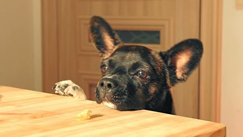 Young dog is trying to reach a leftover piece of bread on a wooden table