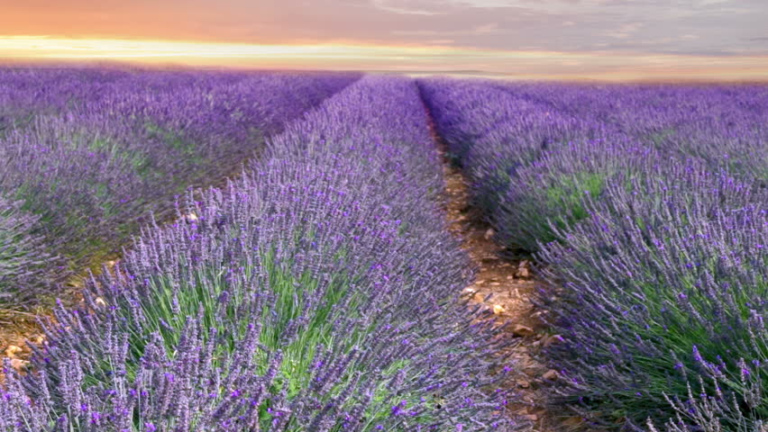 Sunset sky over a summer lavender field. Sunset over a violet lavender field in Provence, France.