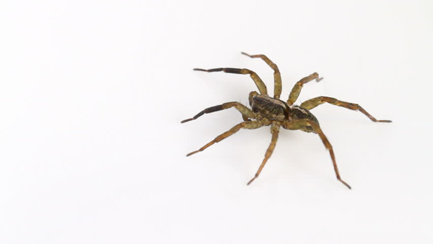 Male Trochosa ruricola (Rustic Wolf-spider) spider on a neutral white background, part of the family Lycosidae - Wolf spiders