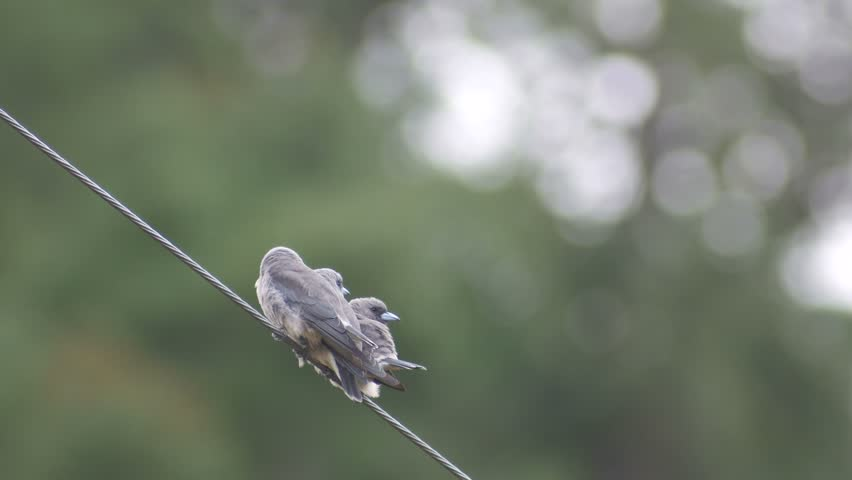 ashy woodswallow birds are resting on electrical wire with bokeh background