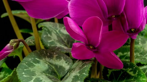 Purple ornamental house plant cyclamen flower blossoming macro time lapseagainst a dark background/Cyclamen flower blossoming macro timelapse