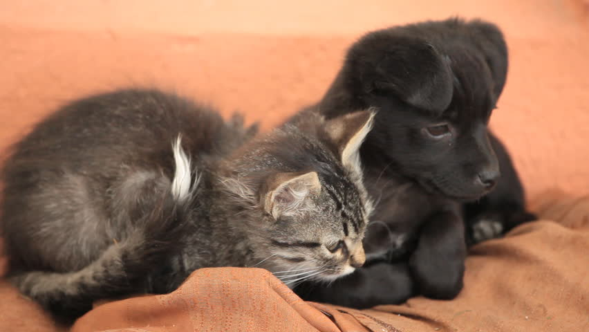 Friendly Puppy Dog And Kitty Stock Footage Video 100 Royalty Free