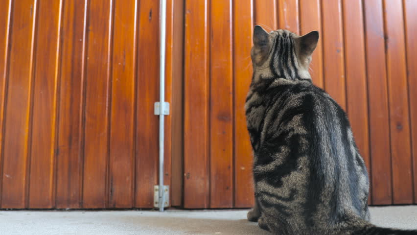 Cat sitting in-front big wooden doors 4K. Low angle view of big cat with beautiful black stripes over body sitting in front of wooden doors and waiting. | Shutterstock HD Video #18915881