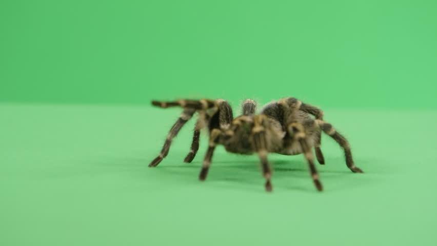 Tarantula walking towards the camera #18981184