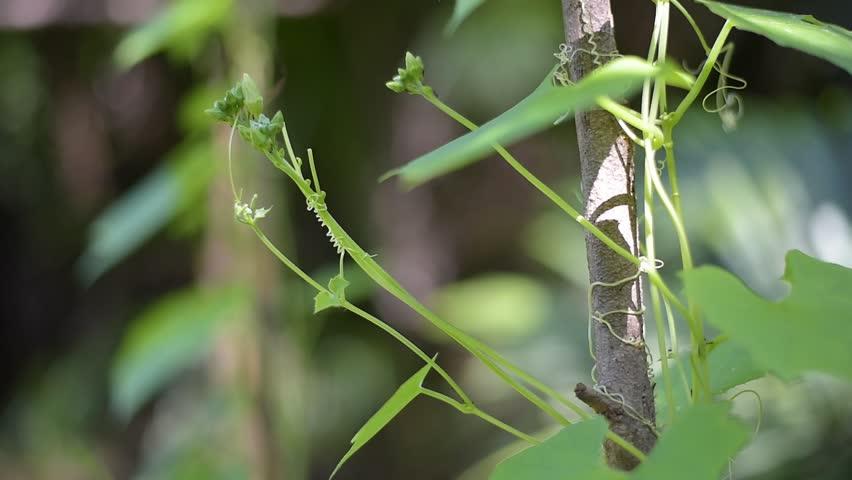 leaf of the luffa , Luffa cylindrica in garden thailand #19008046