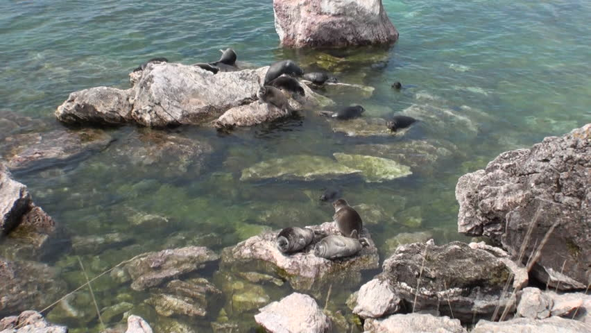 Baikal seal Pusa sibirica on Ushkany Islands belongs to type of animal pinnipeds on rocks in freshwater. It lives only in Lake Baikal. Mothers and cute newborn Pup calves bask on stones. Ecotourism.