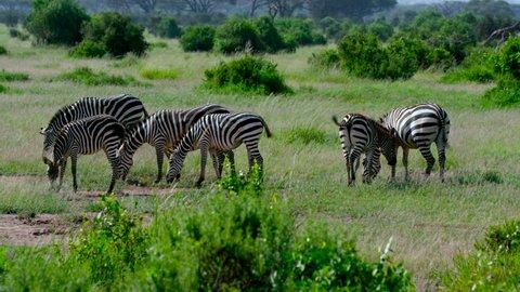 Burchell Zebra Grazing; Amboseli Kenya Africa