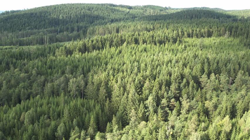 Swedish forrest landscape of pine/fir, partly sunlit