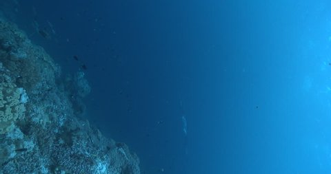 Vertical shot of Reef manta ray swimming on coral reef, Manta alfredi 4K UltraHD, UP36078