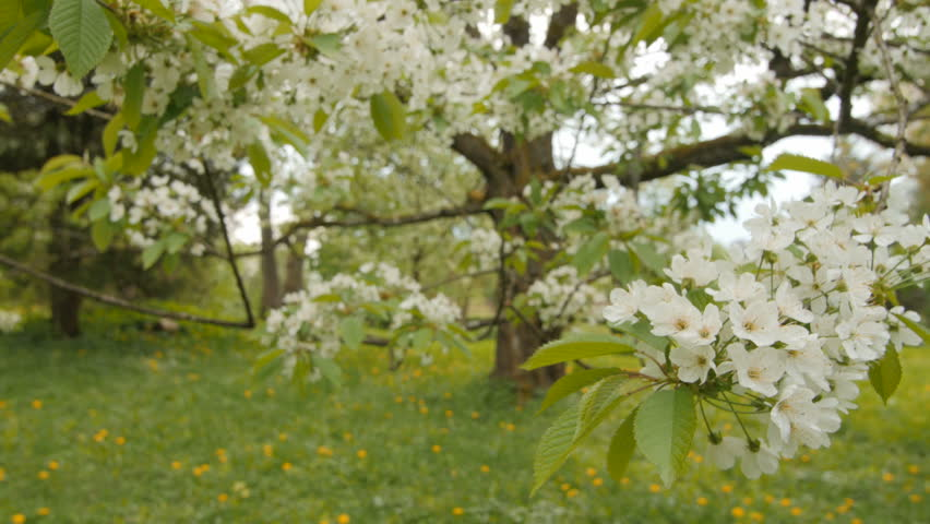 Stock video of beautiful big tree with white flowers | 19933891 ...