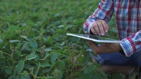Farmer using digital tablet computer in cultivated soybean crops field, modern technology application in agricultural growing activity, selective focus