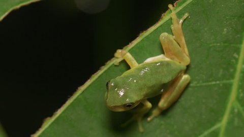 Japanese Tree Frog (Hyla japonica)