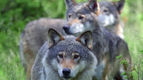 wolf pack in forest watching alerted