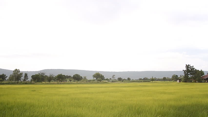 Rice fresh green in paddy field with stalks swaying in the wind | Shutterstock HD Video #19328221