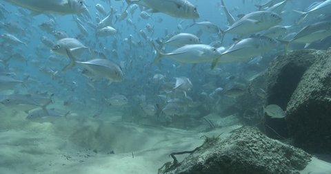 Bigeye trevally swimming and schooling on sand channel rock wall, Caranx sexfasciatus 4K UltraHD, UP38320