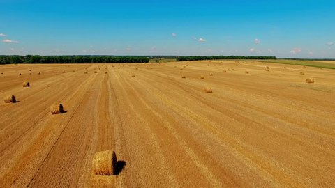 Flight over crop wheat or rye field with stook hay straw bales. Harvest agriculture farm rural aerial 4k video background. Bread production concept.