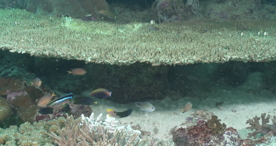 Tubelip wrasse swimming on shallow coral reef, Labrichthys unilineatus 4K UltraHD, UP39036