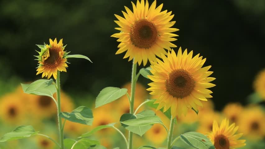 Sunflower | Shutterstock HD Video #19405921