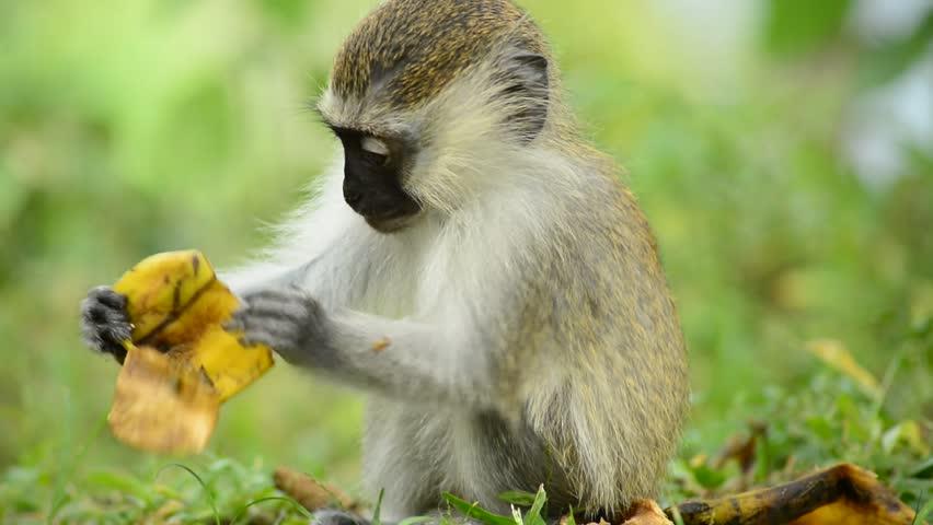 Vervet Monkey in Lake Nkuruba, Uganda.