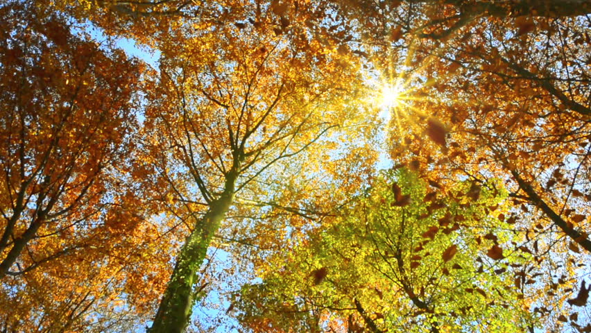 Panning shot of treetops in autumn, with falling leaves and the sun shining through the foliage