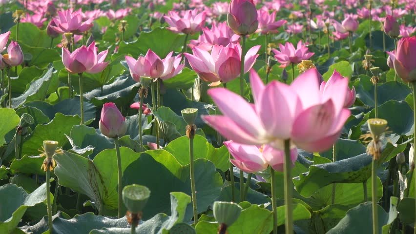 Pink Lotus Flower In The Video De Stock Totalmente Libre De