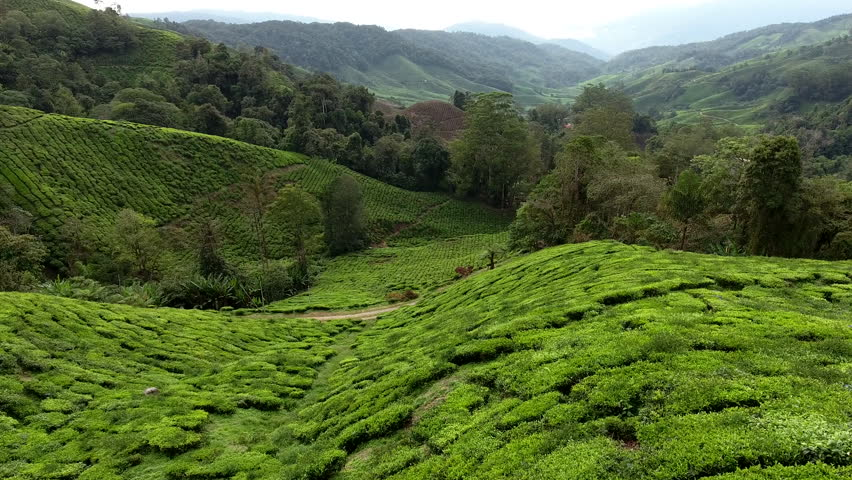 Aerial shooting from flying drone of a beautiful Asian landscape with tea plantations, tropical trees in mountains and farm buildings. Wonderful view of a countryside with green coffee brushes