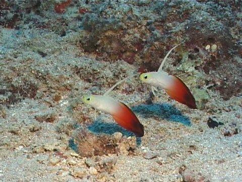Fire dartfish hovering at dusk, Nemateleotris magnifica, UP9801
