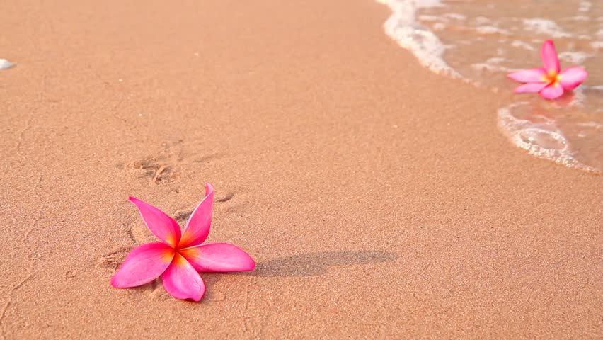Frangipani Flowers On The Beach Stock Footage Video 100 Royalty Free 1962511 Shutterstock