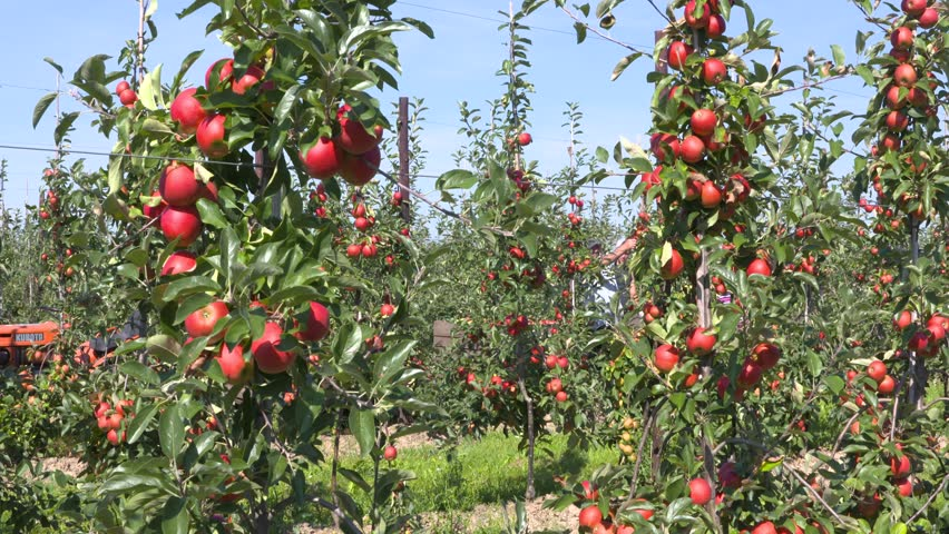 BETUWE, THE NETHERLANDS - SEPTEMBER 2016: apple pickers at work in fruit orchard on dwarfing rootstocks, harvesting ripe elstar apples