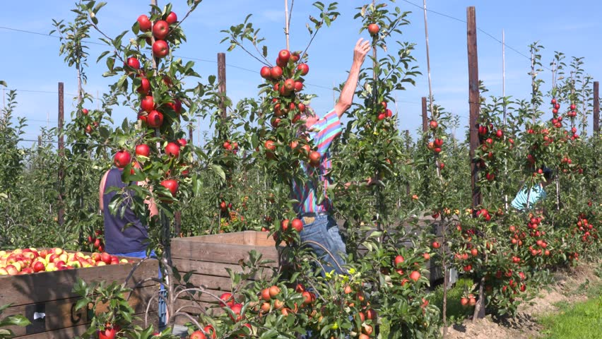 BETUWE, THE NETHERLANDS - SEPTEMBER 2016: Apple pickers at work in apple orchard, collecting ripe elstar apples in stackable apple crates.