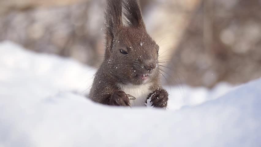 Hokkaido Squirrel eating food on the snow