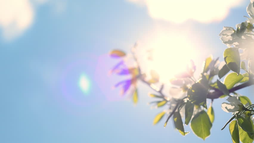 Panoramic scene with moving sun stars and colorful lens flare through blooming pear tree against blue sky background. Slow motion. Shallow dof. Natural sunlit texture. Full HD footage 1920x1080.