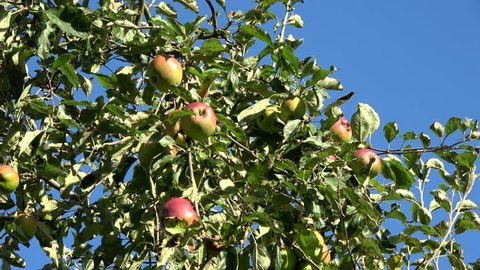 Apple tree showing red and green apples hanging in the tree low hanging fruit almost ripe green and red color also showing green leaves and through them a crips blue sky in the background 4k quality
