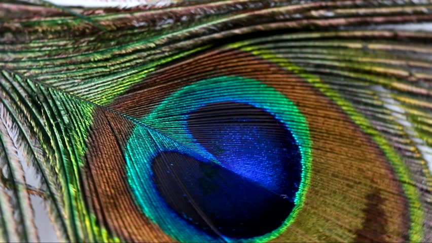 A close up of a rotating peacock feather