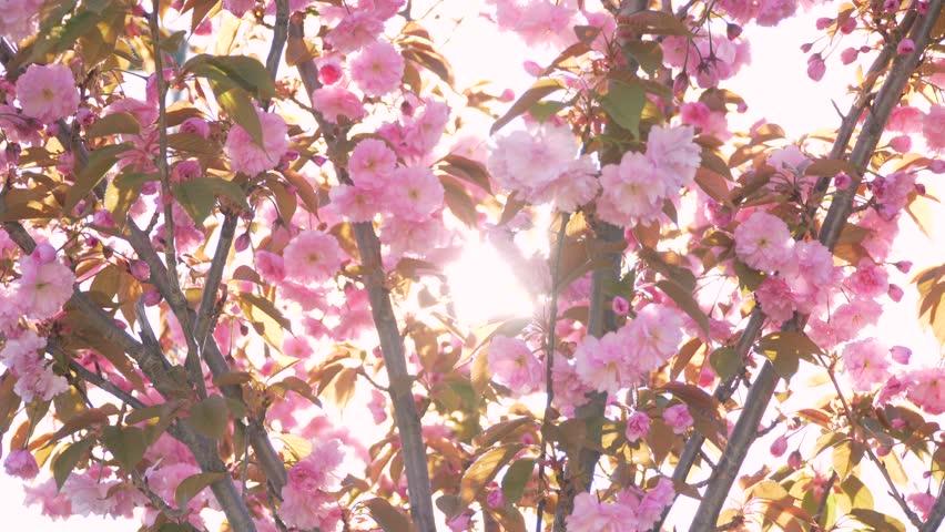 Spring flower cherry sakura tree branch blossom background zoom in Sun pink white cherry tree branch sakura flower blossom background Cherry sakura tree flower blossom spring Cherry tree blossom