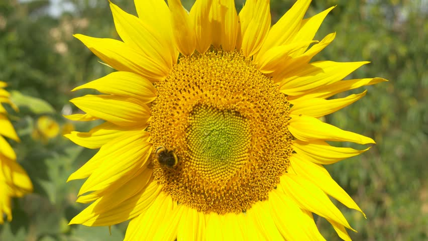 sunflower working bee blue sky bright sunny weather close up 4k natural energy organic farming clean farm outdoors honey pollen bees