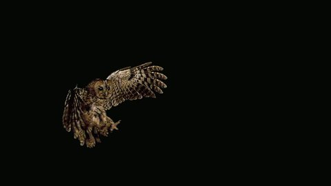 Eurasian Tawny Owl, strix aluco, Adult in Flight, Normandy, Slow motion