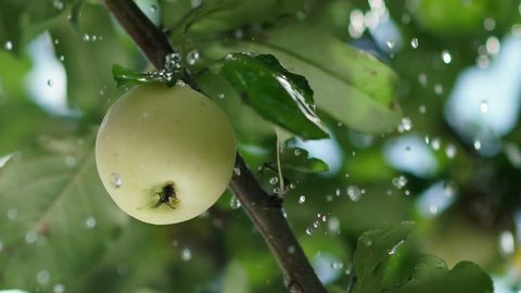 Rain drops fall on the apple and the tree leaves. Apple orchard. Ripe apple on a tree. Summer rain in the garden with apples. Apple tree. Apple tree. Juicy apple on the tree branch. Slowmotion